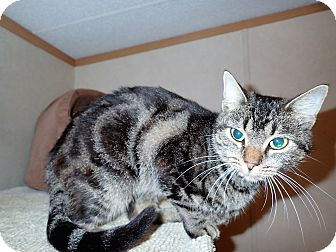 Domestic Shorthair Cat for adoption in North Wilkesboro, North Carolina - Fellina