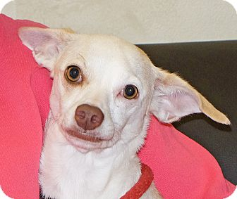 Chihuahua Mix Dog for adoption in Spokane, Washington - Peanut
