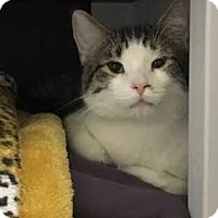 Domestic Shorthair Cat for adoption in Norwich, New York - Amos