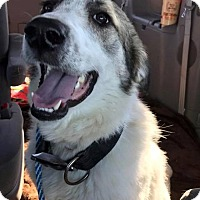 Adopt A Pet :: Harley Badger - Kyle, TX