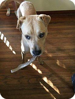 Golden Retriever/Shar Pei Mix Puppy for adoption in Orlando, Florida - MARCO
