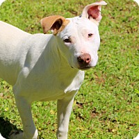 American Pit Bull Terrier Mix Puppy for adoption in Glastonbury, Connecticut - Max