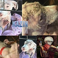 Adopt A Pet :: Kazin - Memphis, TN