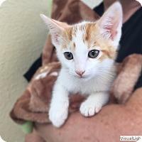 Adopt A Pet :: Champ - Westchester, CA