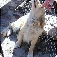 Adopt A Pet :: Sookie - Albuquerque, NM