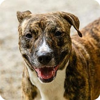 Pit Bull Terrier/Hound (Unknown Type) Mix Dog for adoption in Decatur, Georgia - WICK