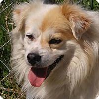Adopt A Pet :: Snowball - Brattleboro, VT