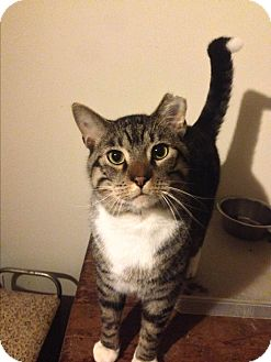 Domestic Shorthair Cat for adoption in Roswell, Georgia - Sigmund