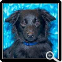 Adopt A Pet :: Audi - Covina, CA