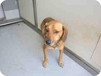 Beagle Mix Dog for adoption in Newnan City, Georgia - Bama/Rusty