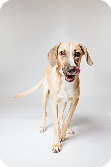 Labrador Retriever/Harrier Mix Puppy for adoption in Houston, Texas - Luke