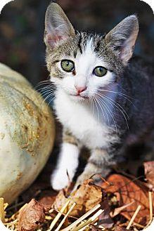 Domestic Shorthair Kitten for adoption in Nashville, Tennessee - Kili
