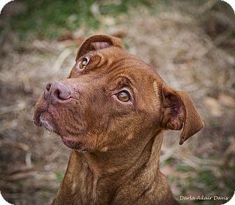 Pit Bull Terrier/Labrador Retriever Mix Dog for adoption in Lincolnton, North Carolina - Emma