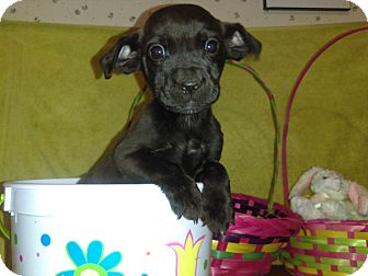 Golden Retriever/Labrador Retriever Mix Puppy for adoption in Cincinnati, Ohio - Dolly