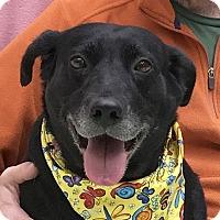 Adopt A Pet :: Midnight - Evansville, IN