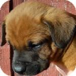Boxer/Labrador Retriever Mix Puppy for adoption in Manchester, Connecticut - Senorcool ADOPTION PENDING
