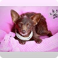 Adopt A Pet :: Cocoa Puff - Albany, NY