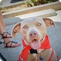 Adopt A Pet :: Sansa - Redondo Beach, CA