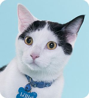 Domestic Shorthair Cat for adoption in Chicago, Illinois - Topsy