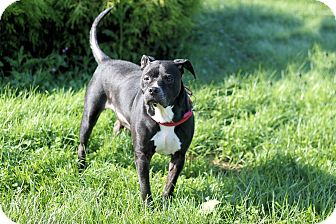 Labrador Retriever/Pit Bull Terrier Mix Dog for adoption in Manahawkin, New Jersey - Shannon