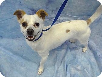 Chihuahua Mix Dog for adoption in Hawthorne, California - Danny