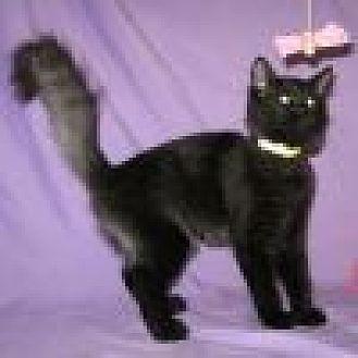 Domestic Mediumhair Cat for adoption in Powell, Ohio - Kuro