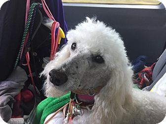 Poodle (Miniature) Mix Dog for adoption in Fort Atkinson, Wisconsin - Tsezar