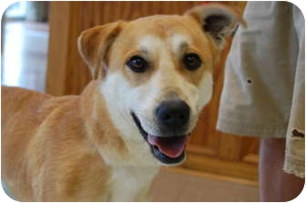 Labrador Retriever Mix Dog for adoption in Hagerstown, Maryland - Suzzy