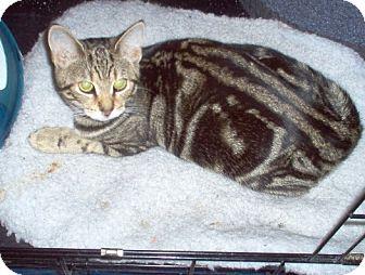 Domestic Shorthair Cat for adoption in Toronto, Ontario - Oakley