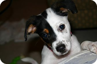 Fox Terrier (Toy) Mix Puppy for adoption in Columbus, Ohio - Pippa