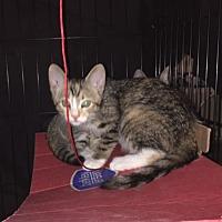 Bengal Kitten for adoption in Sunny Isles Beach, Florida - Baby