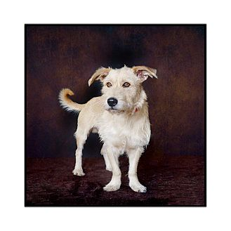 Terrier (Unknown Type, Medium) Mix Dog for adoption in Van Nuys, California - Scooby