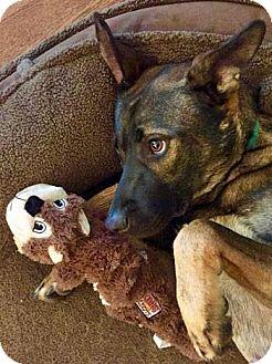 Belgian Malinois/German Shepherd Dog Mix Dog for adoption in Bedford Hills, New York - Wallace