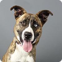Boxer/Husky Mix Dog for adoption in Columbia, Illinois - Koda
