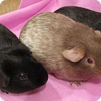 Adopt A Pet :: Ethel - Steger, IL