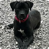 Adopt A Pet :: Maya - Auburn, WA