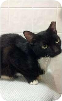 Domestic Shorthair Kitten for adoption in Lakeland, Florida - Shadow