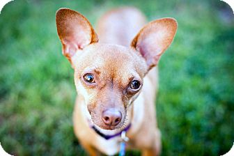 Chihuahua Mix Dog for adoption in Bellflower, California - Barney - 7 lbs!