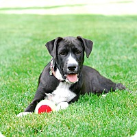 Adopt A Pet :: Ashton - Randolph, NJ