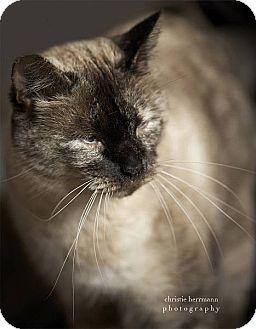 Siamese Cat for adoption in Austin, Texas - Queenie