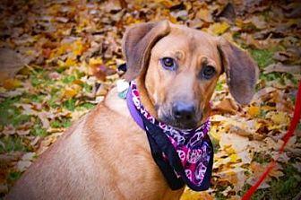 Labrador Retriever/Coonhound (Unknown Type) Mix Dog for adoption in Princeton, Kentucky - Stella