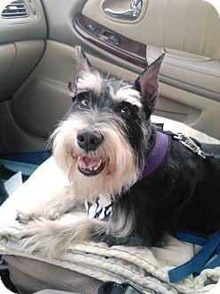 Schnauzer (Miniature) Mix Dog for adoption in Palm Harbor, Florida - Mina