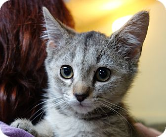 Domestic Shorthair Kitten for adoption in Greenfield, Indiana - Juno