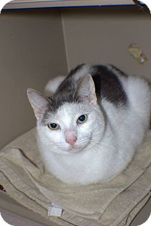 Domestic Shorthair Cat for adoption in Broadway, New Jersey - Pickles - Barn Cat