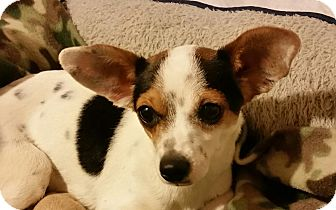 Rat Terrier Mix Dog for adoption in Las Vegas, Nevada - Monroe