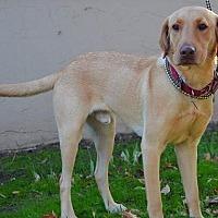 Labrador Retriever Dog for adoption in Clovis, California - Tony