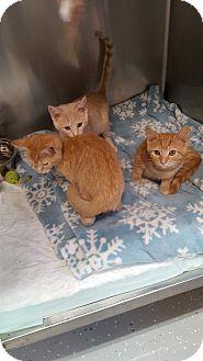 Domestic Shorthair Kitten for adoption in Danville, Indiana - Slinky, Kinky