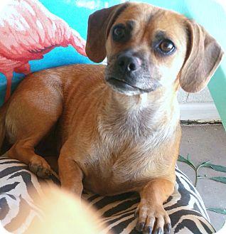 Dachshund/Pug Mix Dog for adoption in Phoenix, Arizona - Posie