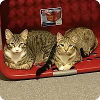 Siamese Cat for adoption in Virginia Beach, Virginia - Zeus