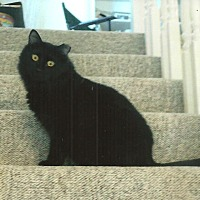 Domestic Longhair Cat for adoption in Overland Park, Kansas - Kip